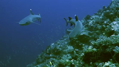 meeting two whitetip reefsharks along reef wall,approaching,Palau