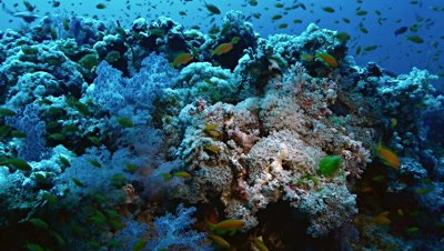 slow pan wide shot over teaming Coral Reef full of colorful soft corals and anthias,Red Sea