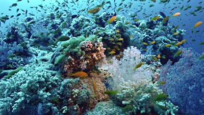 underwater shot of beautiful coral reef scenery,full of colorful soft corals and surrounding fish,pan shot,Red Sea