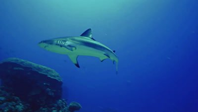 grey reefshark swims over coral reef,low angle shot,Red Sea Sudan