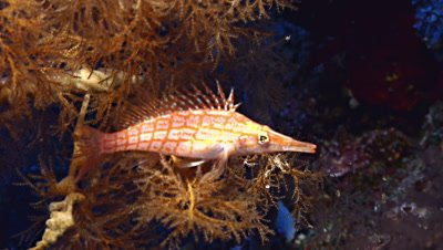underwater shot of Longnose hawkfish sitting in coral branch,Red Sea