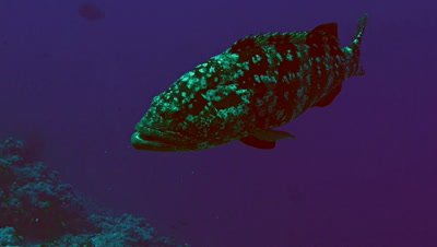 underwater shot of large Grouper in blue water,Red Sea