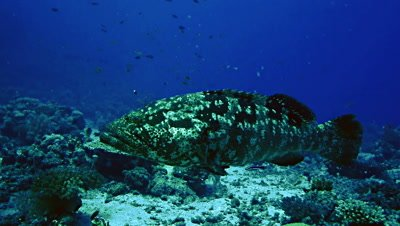 underwater shot of huge Grouper swimming over coral reef landscape,Red Sea