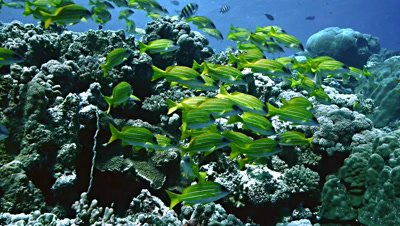 wide shot of yellow banded snapper over coral reef top,Red Sea