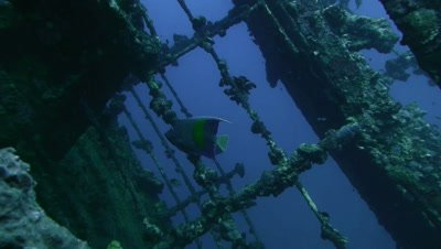 arabian angelfish in sunken ship,underwater tracking shot,Red Sea