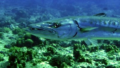 under water shot of approaching Great Barracuda on reeftop
