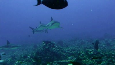 under water shot of two Grey Reefsharks approaching towards camera