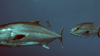 under water shot of schooling Amber jacks in Mediterranean Sea