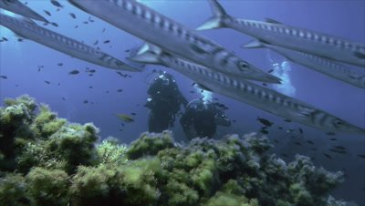 huge group of barracudas passes a group of scuba divers over mediterranean reef