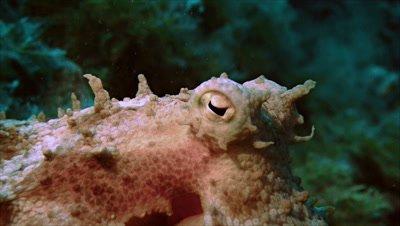 under water shot of octopus head,eyes centered