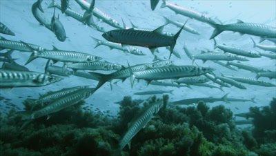 under water shot of mediterranean barracudas assembling over rocky reef