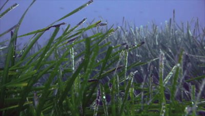 moving slowly over sea grass areas,close,under water shot