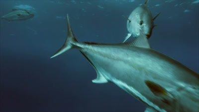 close encounter with group of Amberjacks in Mediterranean Sea