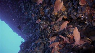 under water shot of schooling Anthias at Mediterranean reef wall