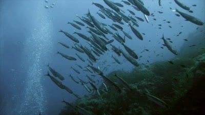 underwater tracking shot of Sardines approaching a Mediterranean Reef