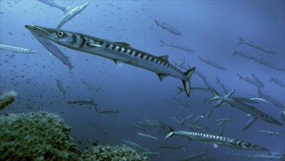 underwater shot of Barracudas schooling over Mediterranean Reef