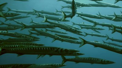 under water shot of schooling Mediterranean Barracudas,close