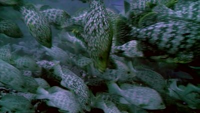 underwater shot of huge school of leather bass,passing in front of camera