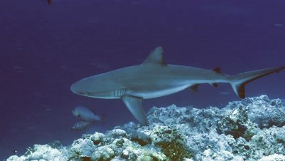 underwater track shot of Grey Reefshark over coral reef drop off,blue water