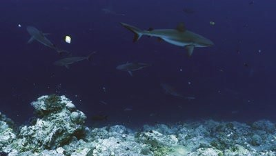 underwater wide shot of schooling Grey Reefsharks at reef drop off,blue water background,one shark moves in different direction