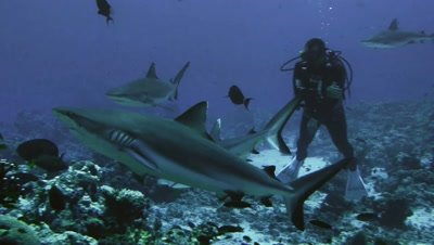 under water shot of Grey Reefsharks on coral reef,move around scuba diver