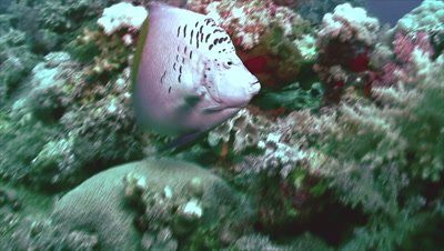 under water tracking shot of Arabian Angelfish moving over coral reef plateau