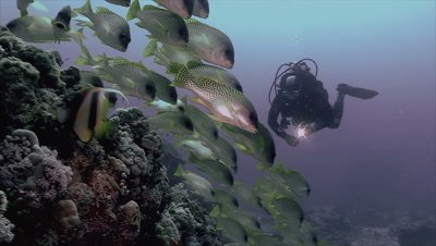under water shot of schooling fish and scuba diver on coral reef