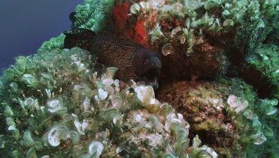 under water shot of moray eel on reef top,moving,Mediterranean sea