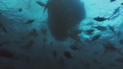 underwater shot of Bait Ball attacked by Silky sharks and Yellow fin Tuna