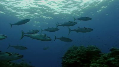 underwater shot of Dogtooth Tuna swimming over coral reef,mediumsized school of fish