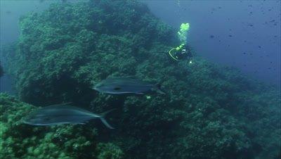 under water shot of Scubadiver watching Amberjacks