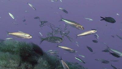underwater shot of feeding sardines on mediterranean reef