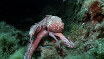 under water shot of big Octopus moving on rocky reef