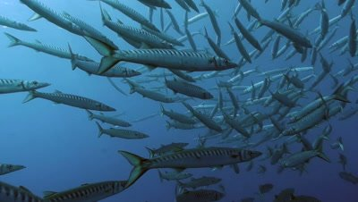 underwater shot of massive school of mediterranean barracudas