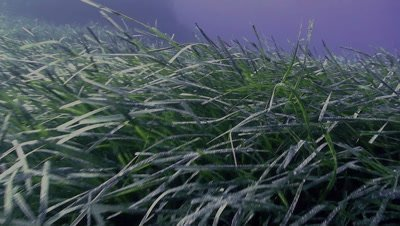 underwater shot of sea grass field,moving over grass