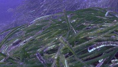 underwater shot of Posidonia,Neptune´s grass,sea grass