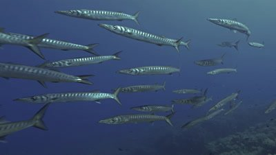 Under water shot of schooling Barracudas in Mediterranean sea