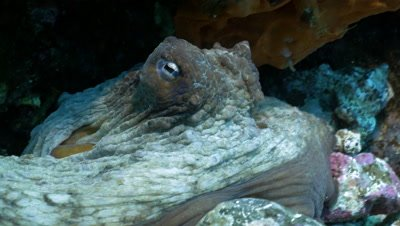 underwater close up shot of Common octopus in its cave