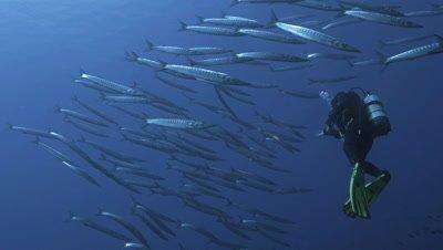 underwater shot of scuba diver meeting schooling barracudas