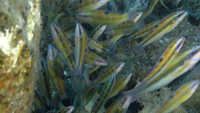 underwater shot of schooling and feeding ornate wrasses