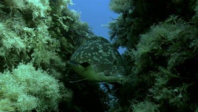 underwater shot of Dusky grouper in mediterranean reef close shot