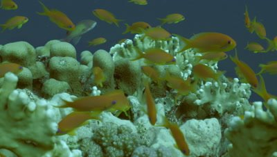 Schooling anthias over coral reef top, fire coral in background