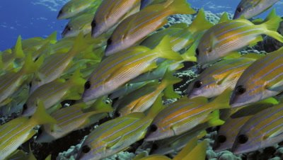 School of blue banded snappers swimming over coral reef