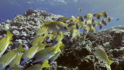 Schooling blue striped snappers over coral reef