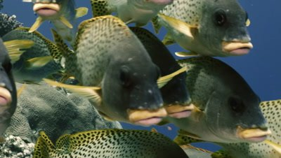 school of blackspotted sweetlips in coral reef