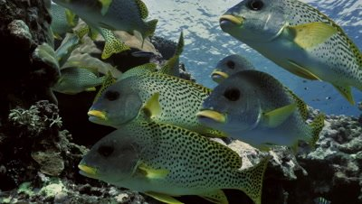 school of blackspotted sweetlips swmming over coral reef