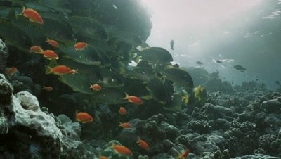 school of blackspotted sweetlip fish in evening mood