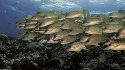 schooling blackspotted sweetlips in coral reef