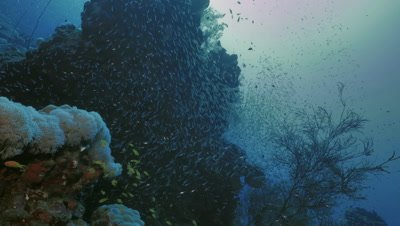huge coral pillar surrounded by red sea sweepers, Red Sea