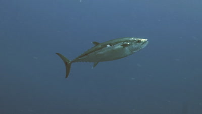 tracking shot of single dogtooth tuna in blue water